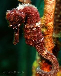 Longsnout Seahorse  Hippocampus reidi   Utila Honduras C.A. by John Roach 